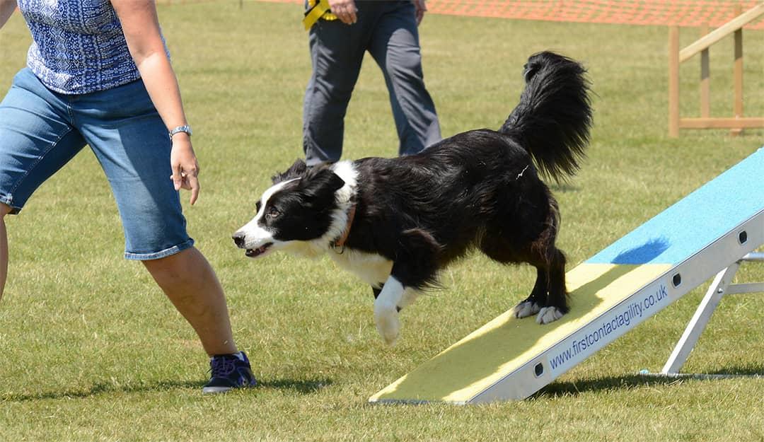 amaia agility activite canine